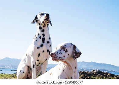 couple of Dalmatian breed dogs on the beach