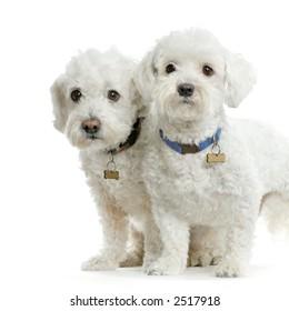 Couple de bichon maltais debout devant un fond blanc