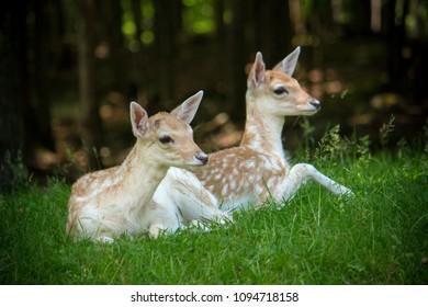Couple of Deer lying on green