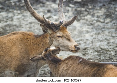 A couple of deers, one male and one female, female deer finding bugs in the male's fur, male deer closed his eyes and enjoys the process, animals in love, wildlife harmony