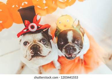 couple of dogs at halloween party