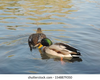 couple of ducks on the background of calm water in a pond in the Park on a dark autumn day. preparation for migration of migratory birds