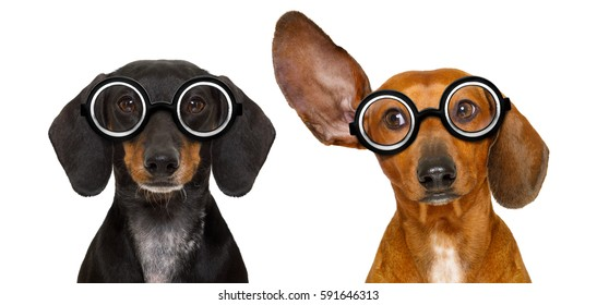 couple of dumb  silly dachshund sausage dog wearing funny nerd glasses , isolated on white background, looking to the side and listening