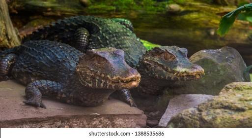 Dwarf Caiman Images, Stock Photos & Vectors | Shutterstock