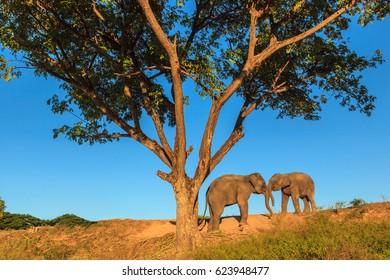 Couple Elphants under the tree