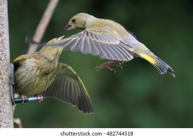 A couple of European Greenfinches, or simply Greenfinches, one is perched on a bird feeder, protecting its space whilst a Greenfinch in flight is trying to take is place