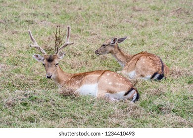 Couple Of Fallow Deer Dama Dama resting on the grass
