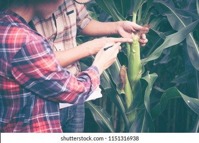 Couple farmer and researcher analyzing corn plant