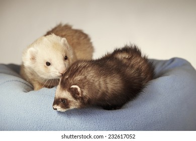 Couple of ferrets in bed