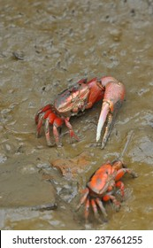A couple of Fiddler crab in Hong Kong