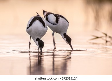 Couple of foraging pied avocet (Recurvirostra avosetta) wading in water in early morning light and looking for food during sunrise