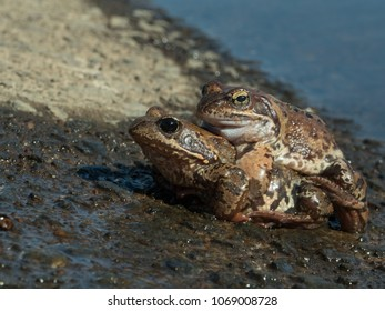 Couple  frogs mated at spring day