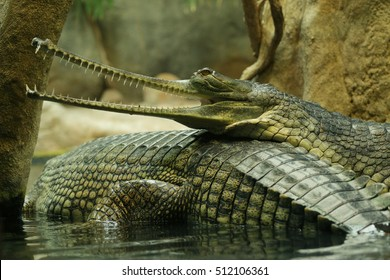 A couple of gharials - indian crocodiles having a rest in the water. One has an opened mouth full of teeth specialized on catching fish.