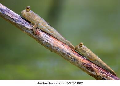 Couple of giant mudskipper, Periophthalmodon schlosseri, standing on a mangrove tree branch.