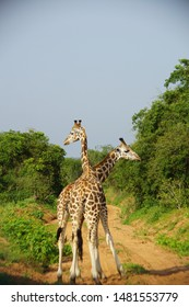 A couple of giraffes hanging out together and keeping a lookout on the beautiful surroundings of Murchison Falls National Park, Uganda