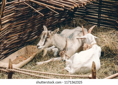 Couple of goats lying and resting on straw bedding near feeder with food behind wattle fencing