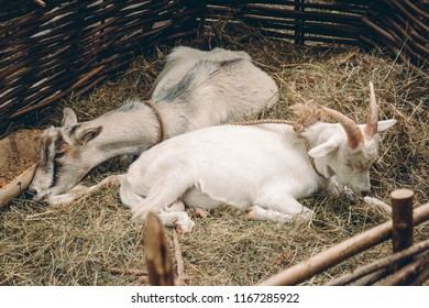 Couple of goats lying and sleeping on straw bedding behind wattle fencing