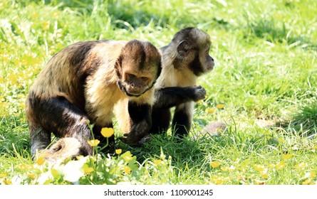 couple of golden bellied capuchin monkeys