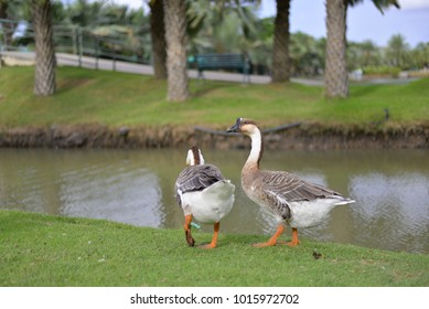 A couple Goose