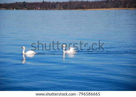 Couple of graceful white swans in a calm blue water
