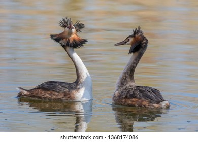 Couple great crested grebe (Podiceps cristatus) during mating ritual