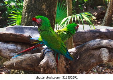 The couple of green parrots macaws in Xcaret park Mexico