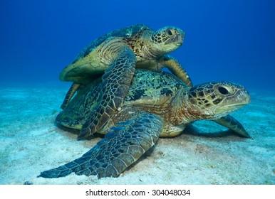 COUPLE OF GREEN SEA TURTLE DURING MATTING