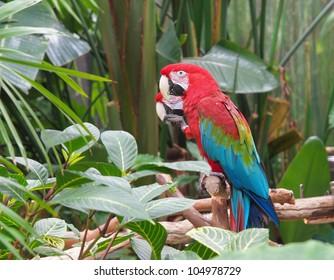 Couple of Green Winged Macaws (Ara chloropterus) amidst lush greenery, landscape orientation