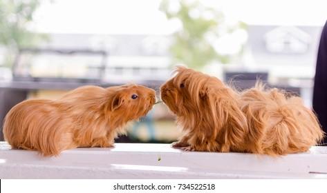couple guinea pigs