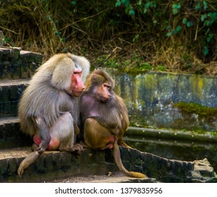 couple of hamadryas baboons together, male and female sitting close together, tropical monkeys from Africa