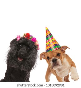 couple of happy dogs ready for a party on white background