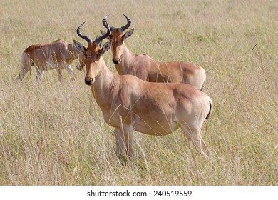 A couple of hartebeests, Alcelaphus buselaphus, standing in Serengeti National Park. This specie of antelope is native to Kenya and Tanzania.