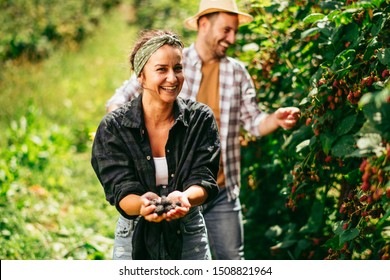Couple harvesting blackberries in garden