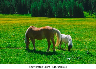 Couple of horse grazing on the spring meadow, Coritna D'Ampezzo, South Tyrol, Dolomites, Italy.