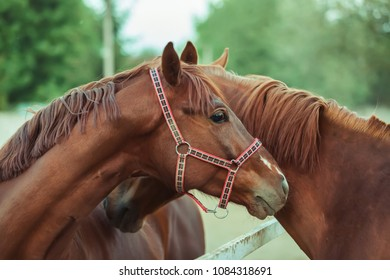 Couple horses portrait