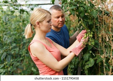 Couple of horticulturistes  attentively working with tomatoe  seedlings in  hothouse