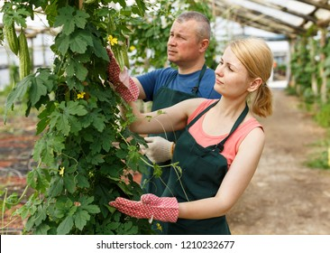 Couple of horticulturistes   with scissors arranging  Momordica balsamina in  hothouse