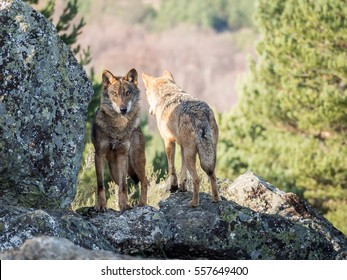 Couple of iberian wolves (Canis lupus signatus) on the top of the mountain