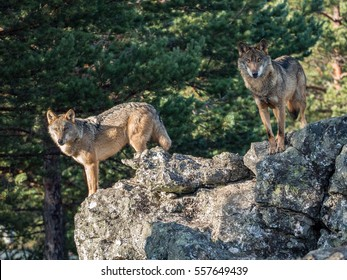 Couple of iberian wolves (Canis lupus signatus) over a rock