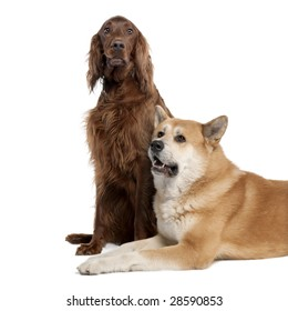 couple of a Irish Setter (3 years) and a akita inu (4 years old) in front of a white background