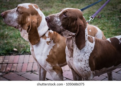 A couple of italian bracco, beautiful purebred pointing dogs