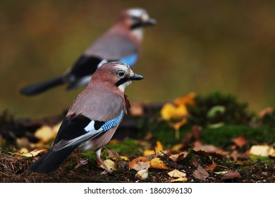 Couple of Jay in the garden