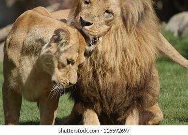 Couple of Katanga Lion - Panthera leo bleyenbergh