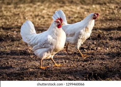 Couple of Leghorn chicken in a free range farm.