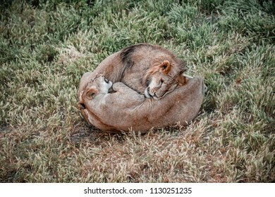 Couple of Lions Hugging in grass