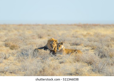 Couple of Lions lying down on the ground in the bush. Wildlife safari in the Etosha National Park, main tourist attraction in Namibia, Africa.