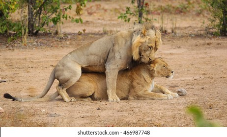 Couple of lions mating on sandy ground, Kruger National Park, South Africa