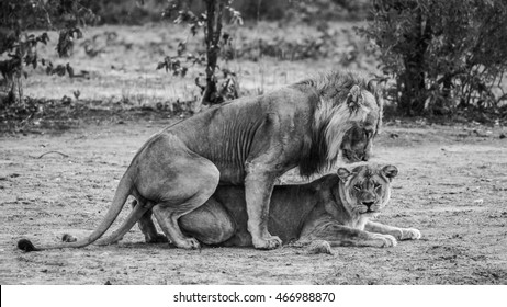 Couple of lions mating on sandy ground, Kruger National Park