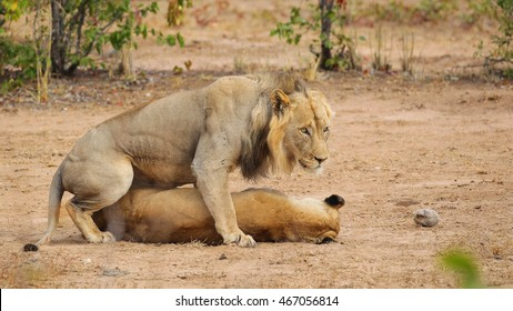 Couple of lions mating on sandy ground, South Africa
