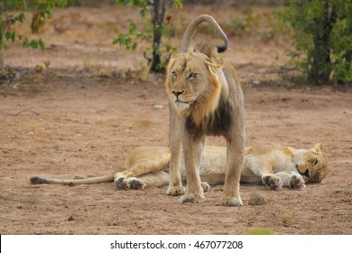 Couple of lions resting after mating on sandy ground, South Africa